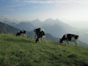 Alpine-Cows-lowres