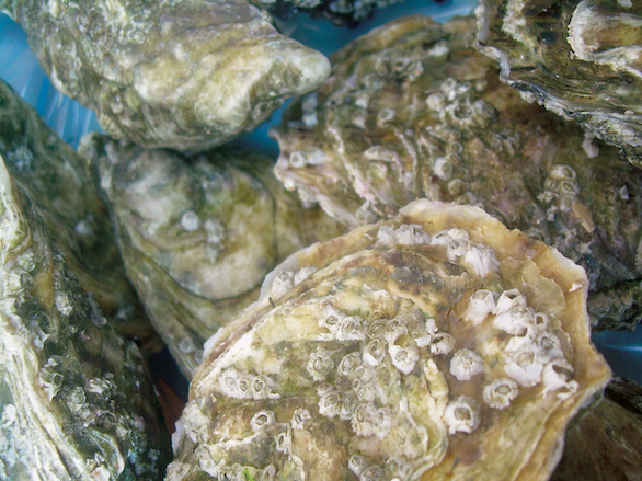 oystershells-lowres